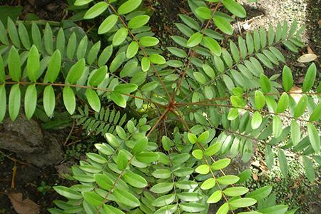 vasoultra-ingredients-eurycoma-longifolia-jack